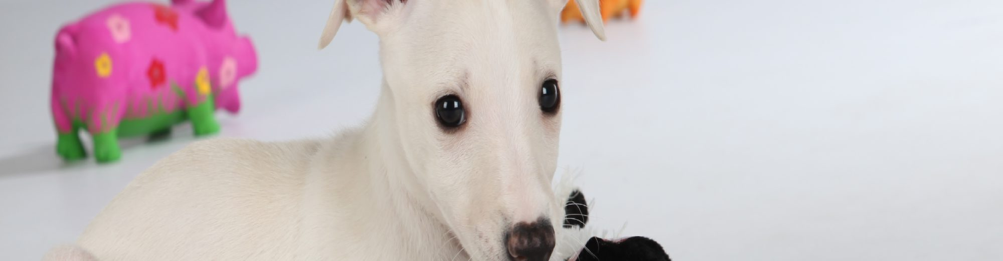 Jayceas Whippet Blog